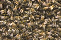 Honey Bees in einem Bienenstock stock video