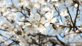 Honey Bees in einem blühenden Mandelbaum stock footage
