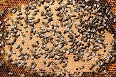 Honey Bees en cierre de la colmena para arriba fotos de archivo