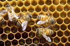 Honey Bees en colmena de la abeja en Tailandia y Asia sudoriental Fotografía de archivo
