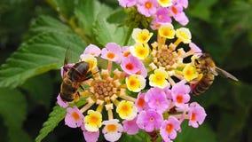 Honey Bees en la cámara lenta de Camara Flowers 03 del Lantana almacen de metraje de vídeo