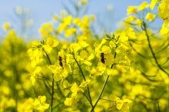 Honey Bees en las flores de la violación en campo de la violación Imágenes de archivo libres de regalías