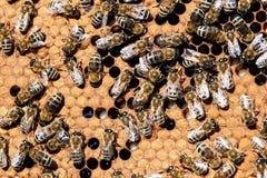 Honey Bees en macro de la colmena Fotografía de archivo libre de regalías