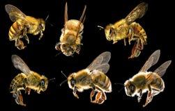 Honey Bees en un fondo negro insectos Imágenes de archivo libres de regalías
