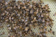 Honey Bees en un panal Imagen de archivo libre de regalías