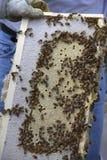 Honey Bees en un panal Foto de archivo libre de regalías