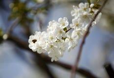 Honey Bees en una flor de la flor de cerezo que recoge 4 Imagen de archivo libre de regalías
