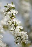 Honey Bees en una flor de la flor de cerezo que recoge 2 Foto de archivo libre de regalías