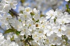 Honey Bees en una flor de la flor de cerezo que recoge 3 Fotografía de archivo libre de regalías