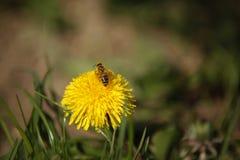 Honey Bees en una recogida amarilla de la flor del flor Imágenes de archivo libres de regalías