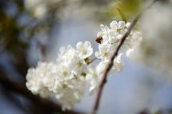 Honey Bees en una recogida de la flor de la flor de cerezo Foto de archivo libre de regalías