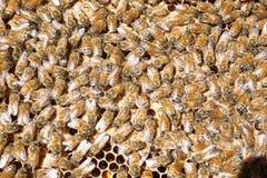 Honey Bees Feeding Brood de trabajo duro imagen de archivo libre de regalías