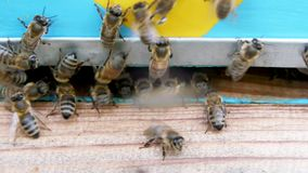 Honey bees in flight. stock video