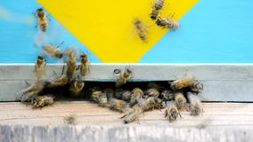Honey bees in flight. stock footage