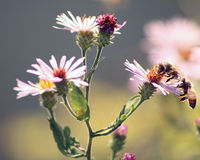 Honey Bees on flower. Honey bees busy at work on pretty pink flowers Royalty Free Stock Photos