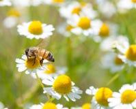 Honey bees on flower stock images