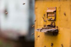 Honey bees flying around their beehive Stock Photography