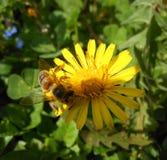 Honey Bees från Serbien royaltyfria foton