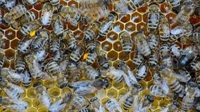 Honey bees. stock footage