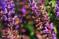 Honey bees. The bees in the garden of flowers all the time honey Royalty Free Stock Photo