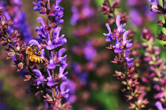 Honey bees. The bees in the garden of flowers all the time honey Royalty Free Stock Photos