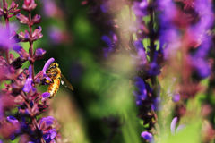 Honey bees. The bees in the garden of flowers all the time honey Stock Photo