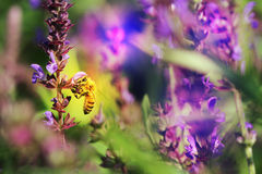 Honey bees. The bees in the garden of flowers all the time honey Royalty Free Stock Image