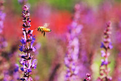 Honey bees. The bees in the garden of flowers all the time honey Stock Photography