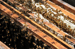 Honey Bees. Gathered on honeycomb in beeyard Royalty Free Stock Photos