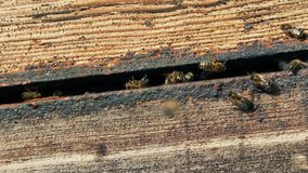 Honey bees going in and out of hive stock footage
