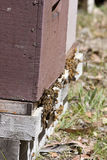 Honey bees in hive. Honey bees flying in and out of a hive in the forest Royalty Free Stock Images