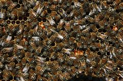HONEY BEES IN HIVE. Worker honey bees in the hive Stock Photography