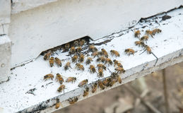 Honey Bees on Hive Stock Photography