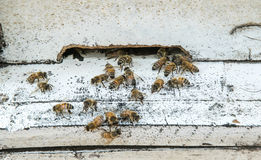 Honey Bees on Hive Royalty Free Stock Photography