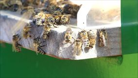 Honey bees on hive stock footage