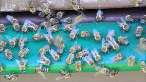 Honey bees on hive stock video