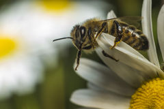 Portrait of a honey bee Royalty Free Stock Image