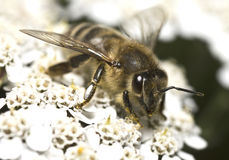 Portrait of the honey bee stock image