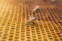 Honey bees on a honeycomb inside beehive. Hexagonal wax structure with blur background. Stock Image