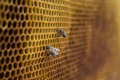 Honey bees on a honeycomb inside beehive. Hexagonal wax structure with blur background. Royalty Free Stock Images