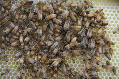 Honey Bees on a Honeycomb Royalty Free Stock Image