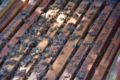Honey bees kept in a bee box.  stock photography