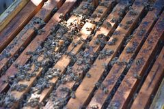 Honey bees kept in a bee box.  stock images