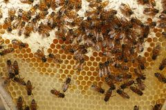 Honey bees kept in a bee box producing fresh honey. Honey bees kept in a bee box hive on a private farm working making honey on a farm in rural Australia stock photos