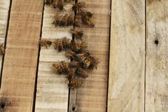 Honey bees kept in a bee box producing fresh honey. Honey bees kept in a bee box hive on a private farm working making honey on a farm in rural Australia royalty free stock images