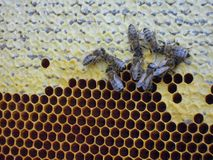 Honey and bees. Bees making honey in their homes. closed caption royalty free stock photos