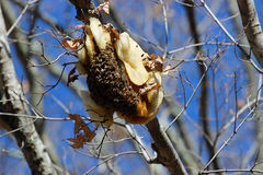 Honey bees. Making their nest high in this tree limb stock photo