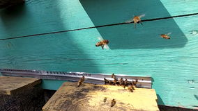 Honey bees near a beehive, in flight. stock footage