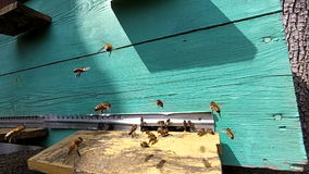Honey bees near a beehive, in flight. stock video footage