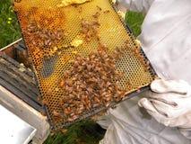 Honey Bees och drottning Arkivfoto